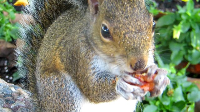 A Squirrel Eating Nuts