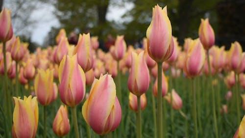 A Garden Of Tulips