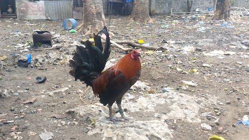 Chicken On The Backyard