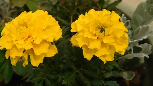 Yellow Flowers With Vibrant Color