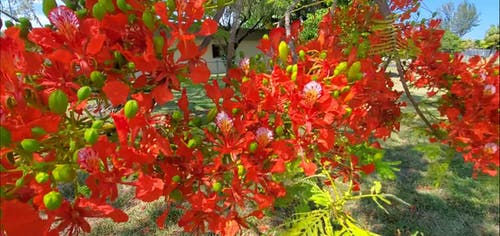 Blooming Red Flower Tree