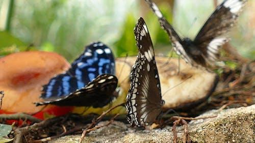 Butterflies Feeds On Rotten Fruits
