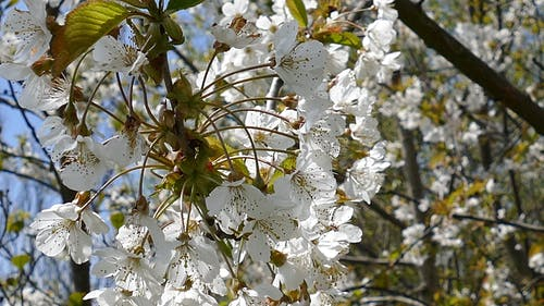 White Flowers Of A Tree