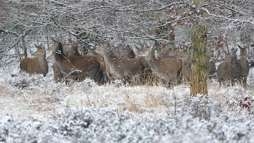 A Herd Of Deer Running In The Woods In Winter