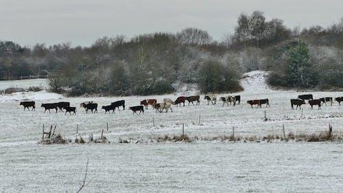 Herd Of Cattles In Winter