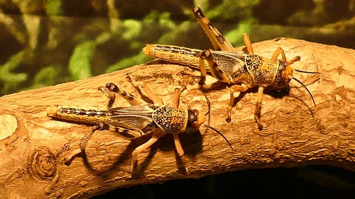 Close-Up View Of Two Grasshoppers