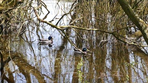 Wild DucksFloating