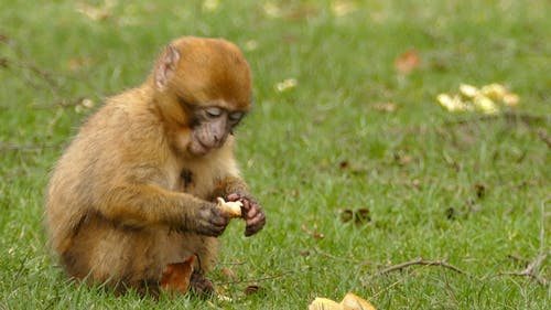A Brown Monkey Eating Bread