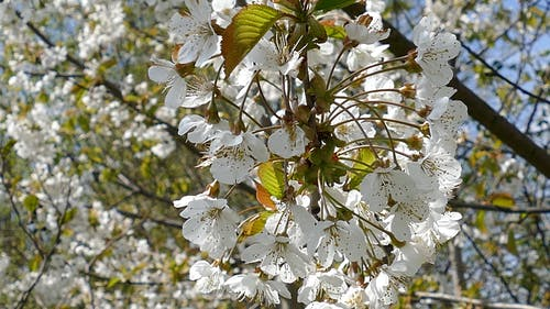 Close-up Of  Flowers In Bloom On A Tree