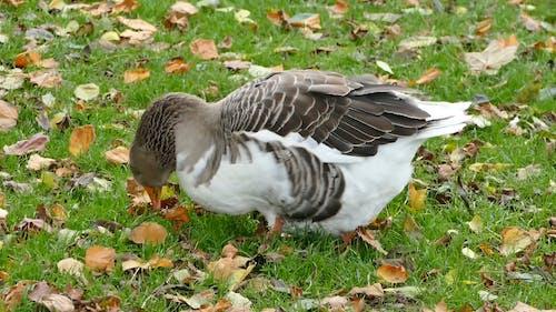 Goose Feeding On Grass