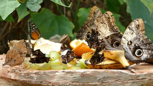 Variety Of Butterflies Feeding On Fruits