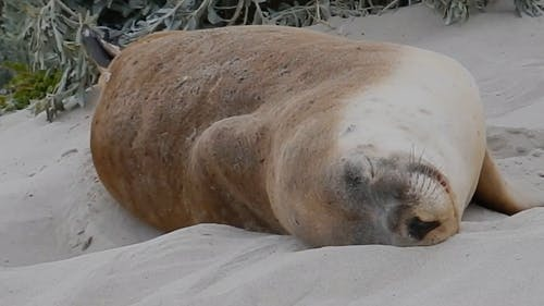 A Seal Sleeping On Sand