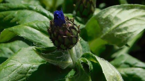 A Corn Flower Bud