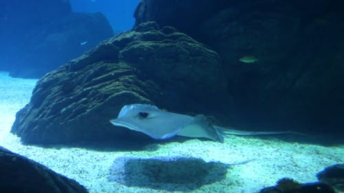 A Sting Ray On The Move