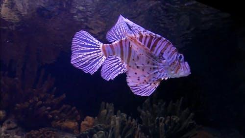 A Scorpion Fish In An Aquarium