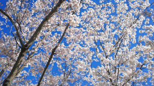 Blooming Cherry Blossoms In Spring
