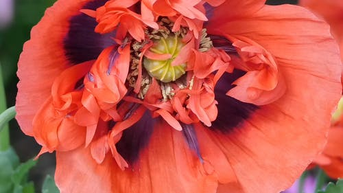 Close-Up View Poppy Flower
