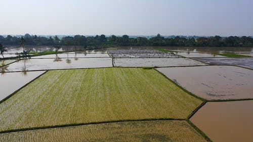 Drone Footage Of A Rice Fields