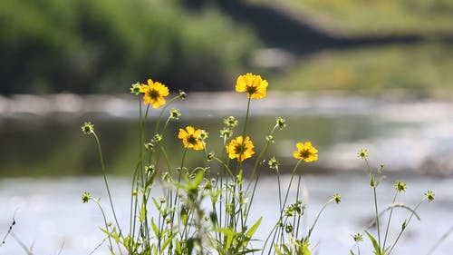 Yellow Perennial Flower By The River