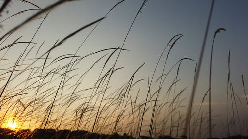 Stalk Of Grass Swaying In The Wind