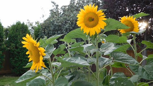 Beautiful Sunflowers In Full Bloom In A Garden