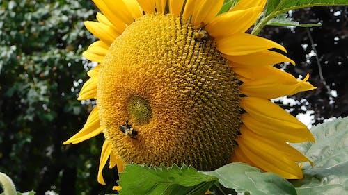Bees Feeding On A Sunflower Nectars