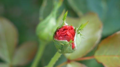 Vista Cercana De Un Capullo De Rosa