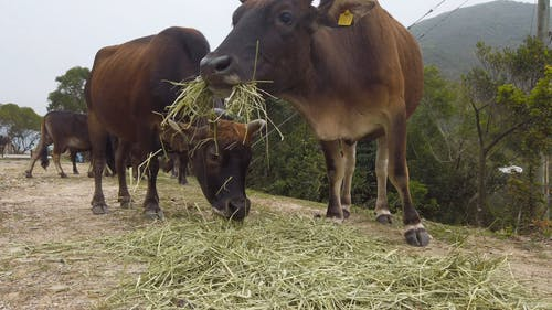 Herd Of Cattle Feeding On Hays