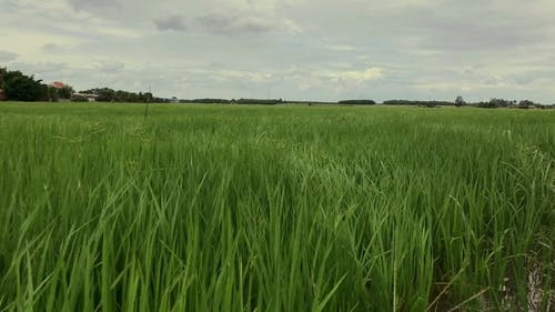 A Rice Field Sways By The Wind
