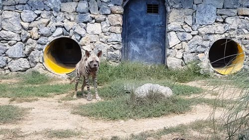 A Hyena In A Zoo