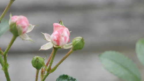 Pink Roses About To Bloom