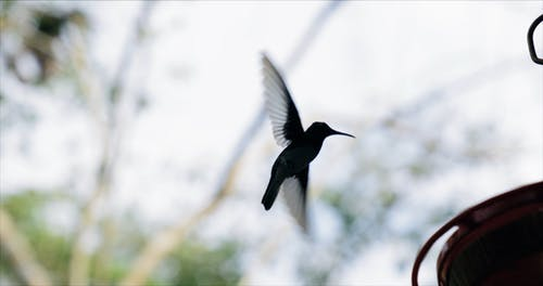 A Humming Bird Suspended In The Air Flying Before Resting