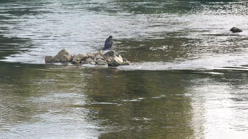 Bird On Rocks In The Middle Of A River