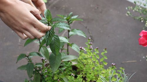 Taking Off The Tip Of A Herbal Plant For Consumption