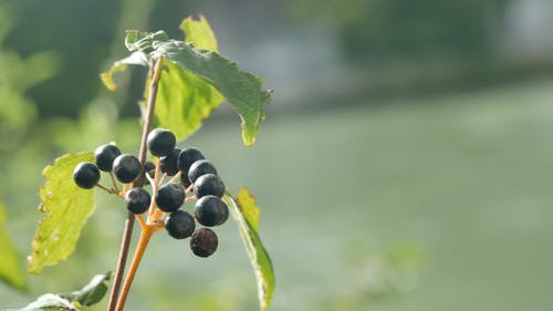 A Fruit Bearing Plant Sways By The Wind