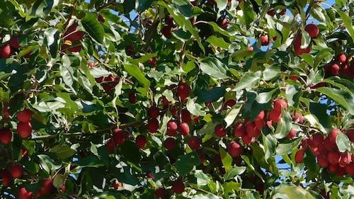 Apple Tree With Abundance Of Fruit Bearings
