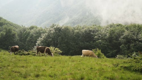Herd Of Cattle Feeding On A Pasture Land