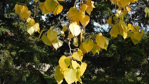 Golden Leaves Of A Tree