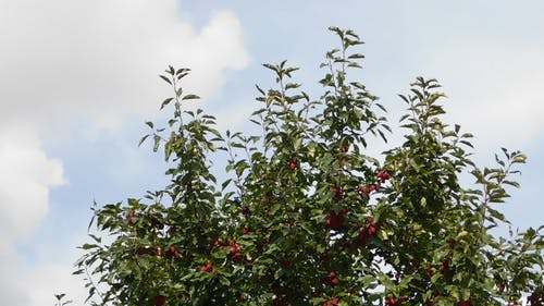 Unharvested Produce Of A Fruit Bearing Tree