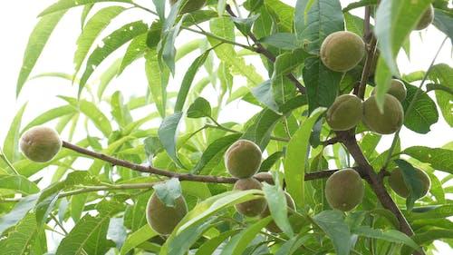 A Fruit Bearing Tree With Unripe Fruit Bearings