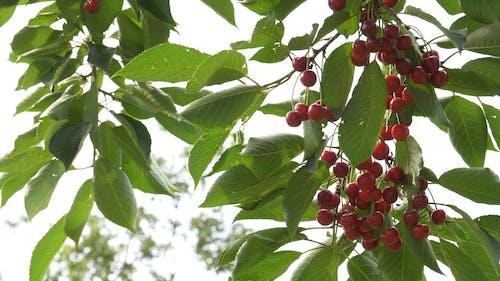 Cherry Fruit Bearing Tree