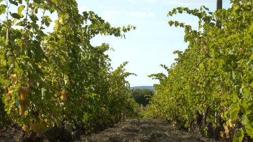 A Vineyard Used For Wine Production