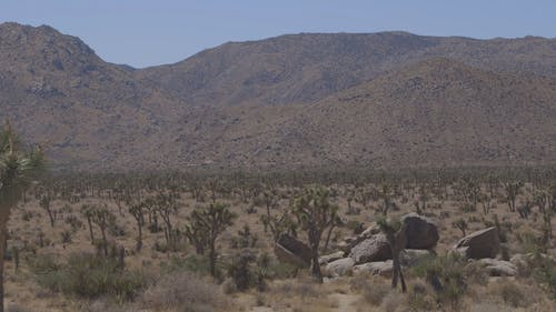 A Variety Of Quiver Tree Growing In Hot Places