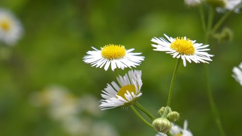 Culturing A Chamomile Flower Plant