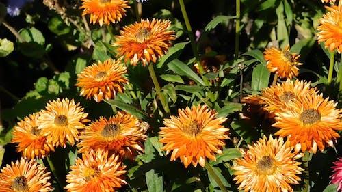 Orange Asters