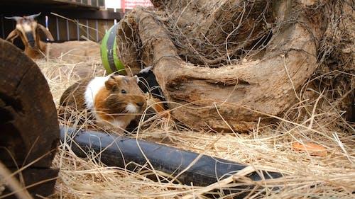 笼子里的干草上的豚鼠
