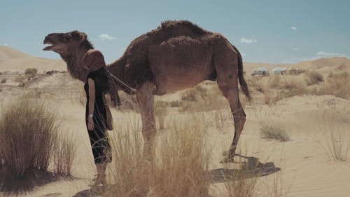 Woman Touching A Camel In The Desert