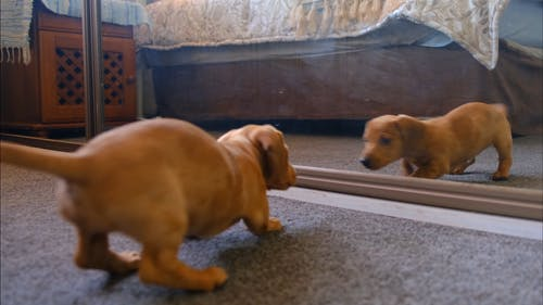 A Dog Fights With His Reflection In The Mirror