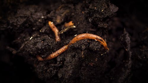 An Earthworm Burrowing On A Compost Soil