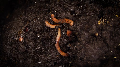 Earthworms Burrows On A Compost Soil